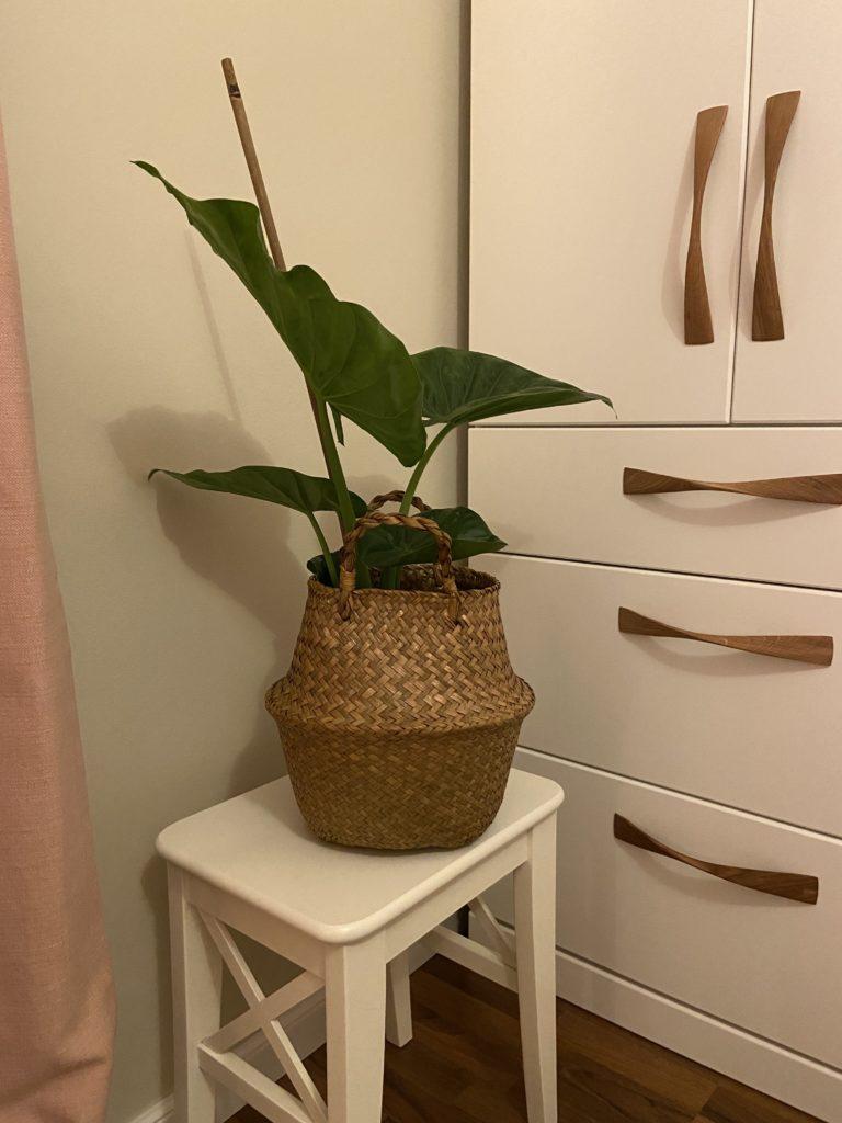 Pflanzen gehören im Feng Shui zum Element Holz. Sie können im Schlafzimmer gut eingesetzt werden mit runden Blättern.
